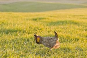 Prairie Chicken Booming