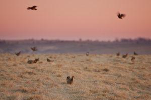 Last stand of Prairie Chickens in Missouri – Dunn Ranch