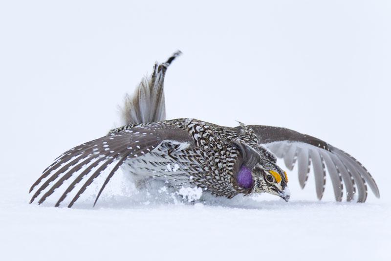 Amazing snow dancers, Columbian Sharp-tailed Grouse