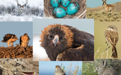 Future of Sage Grouse